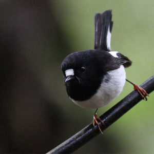 Tomtit-on-branch
